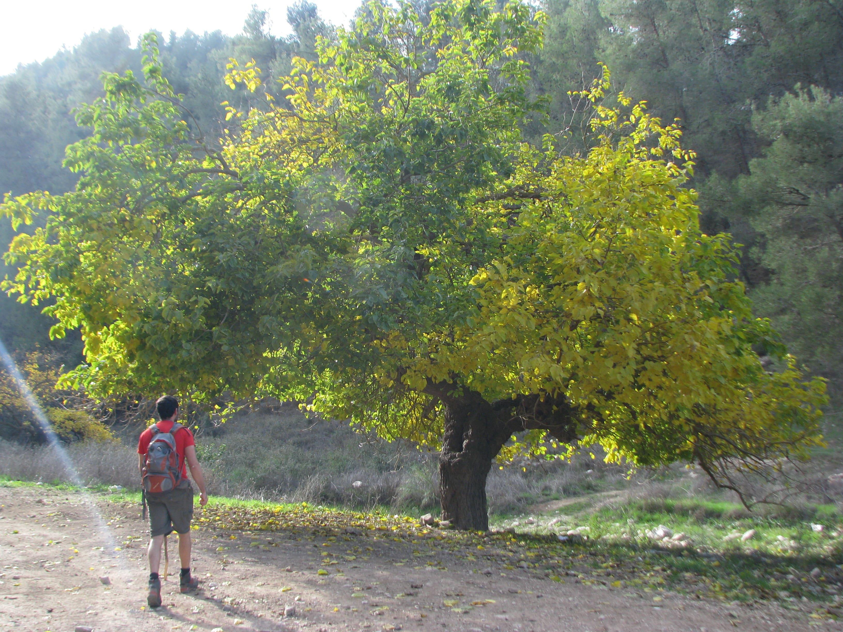 עץ תות מרשים בנחל דישון
